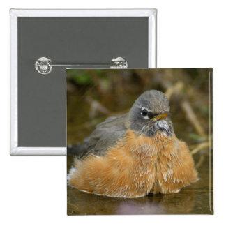 Female American Robin bathing, Yellowstone NP, 15 Cm Square Badge