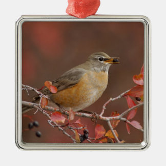 Female American Robin in Black Hawthorn Christmas Ornament