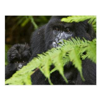 Female and juvenile Mountain Gorillas Postcard