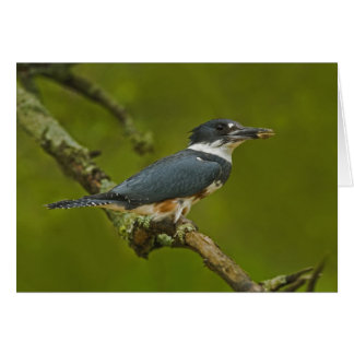 Female Belted Kingfisher with prey near nest Card
