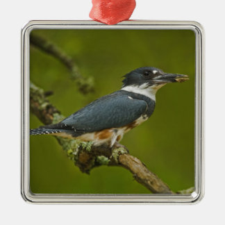 Female Belted Kingfisher with prey near nest Christmas Ornament