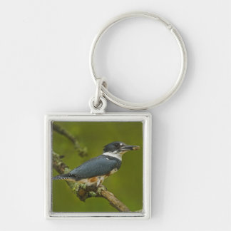 Female Belted Kingfisher with prey near nest Key Chain