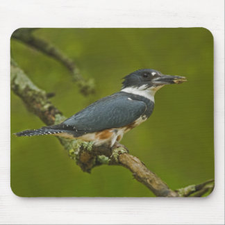 Female Belted Kingfisher with prey near nest Mouse Mat