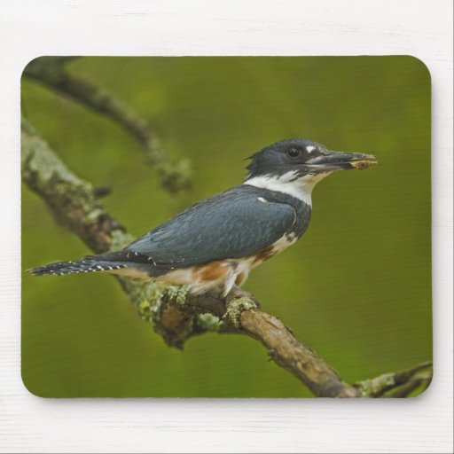 Female Belted Kingfisher with prey near nest Mousepad