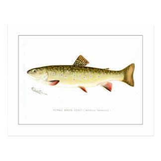 Female Brook Trout Postcard