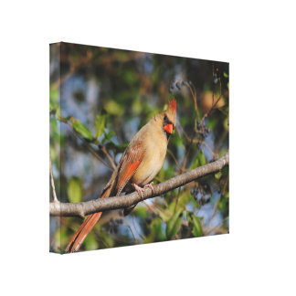 Female Cardinal 3 Stretched Canvas Prints