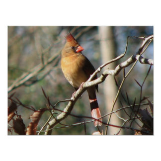 Female Cardinal Poster