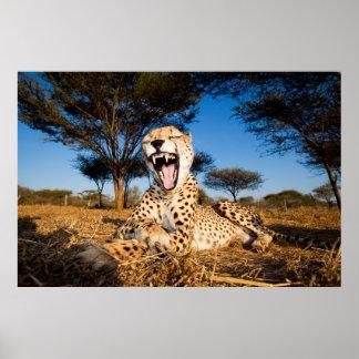 Female Cheetah Yawn - Close up Poster