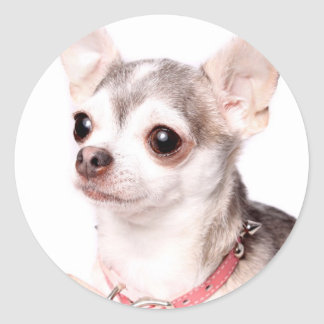 Female chihuahua with pink collar round sticker
