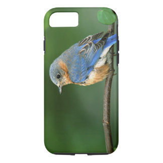 Female Eastern Bluebird, Sialia sialis iPhone 8/7 Case
