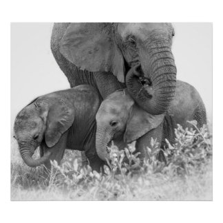Female Elephant Re-Assuring Two Calves (Samburu) Poster