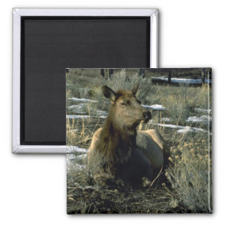 Female Elk Reclining, Winter Refrigerator Magnet