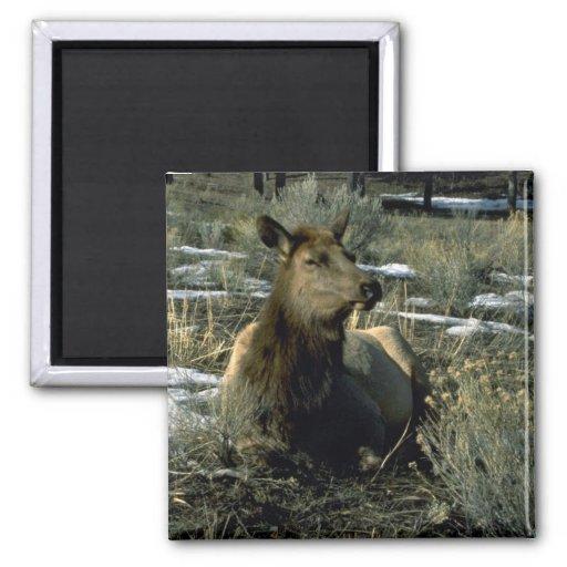 Female Elk Reclining, Winter Refrigerator Magnet