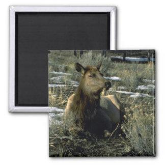 Female Elk Reclining Winter Refrigerator Magnet