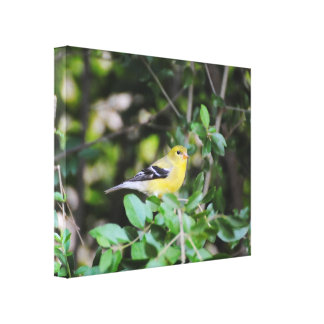 Female Goldfinch 2 Gallery Wrap Canvas