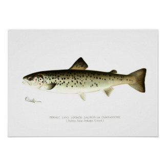 Female Land-locked Salmon or Quaniche Poster