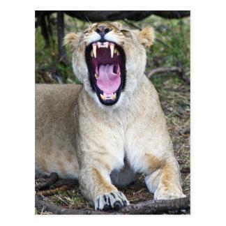 Female lion (Panthera leo), Masai Mara National Postcard