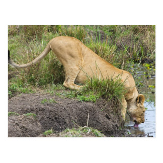 Female lion (Panthera leo), Masai Mara National Post Cards