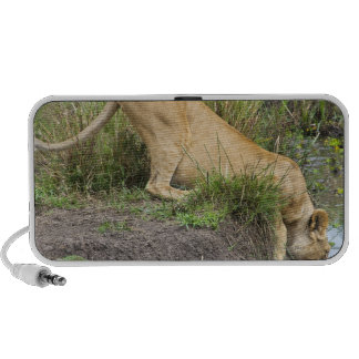 Female lion (Panthera leo), Masai Mara National Speakers