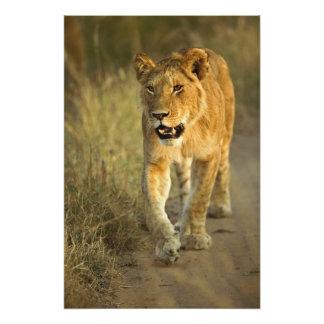 Female Lion walking at sunset, Masai Mara, Photo