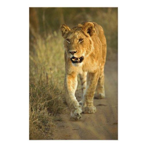 Female Lion walking at sunset, Masai Mara, Photographic Print
