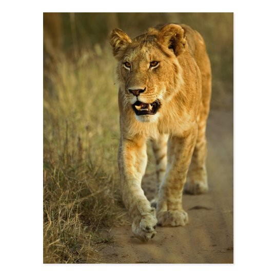Female Lion walking at sunset, Masai Mara, Postcard