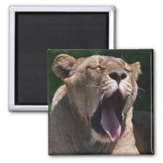 Female Lion Yawn Square Magnet
