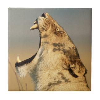Female Lion yawning Tile