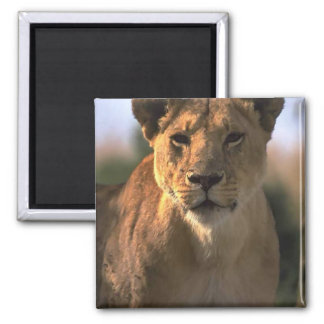 Female Lioness Lion Lovers Gifts Square Magnet