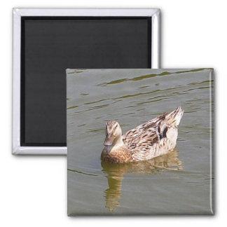 Female Mallard Duck 3 Magnet