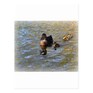 Female mallard duck and ducklings postcard