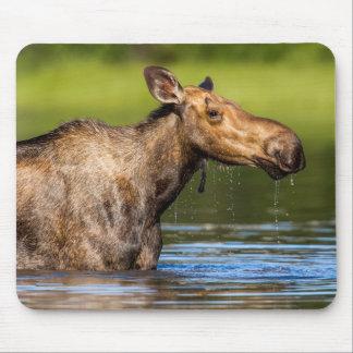 Female Moose Feeding In Small Lake Mouse Mat