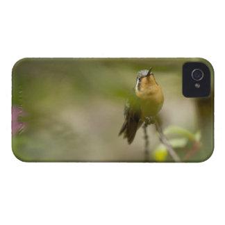 Female mountain gem hummingbird iPhone 4 Case-Mate cases