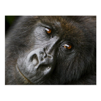 Female Mountain Gorilla Postcard