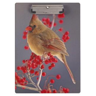 Female Northern Cardinal among hawthorn Clipboard