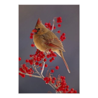 Female Northern Cardinal among hawthorn Poster