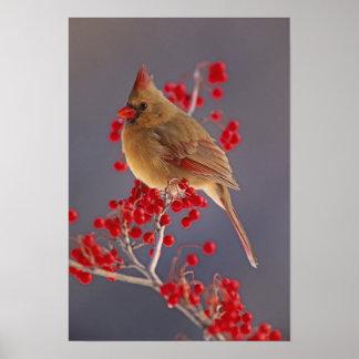 Female Northern Cardinal among hawthorn Poster