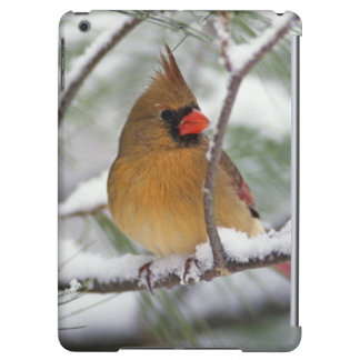 Female Northern Cardinal in snowy pine tree,