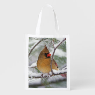 Female Northern Cardinal in snowy pine tree,