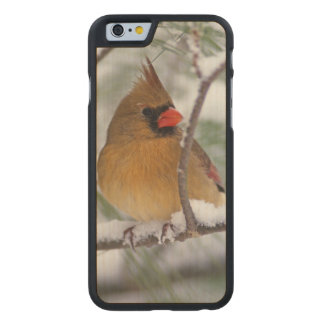 Female Northern Cardinal in snowy pine tree, Carved® Maple iPhone 6 Case