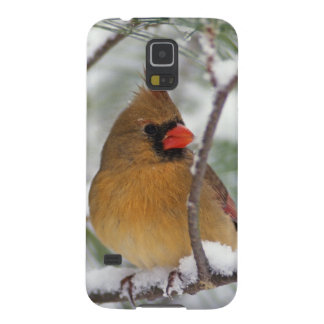 Female Northern Cardinal in snowy pine tree, Galaxy S5 Cases
