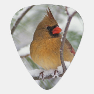 Female Northern Cardinal in snowy pine tree, Guitar Pick