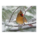 Female Northern Cardinal in snowy pine tree, Post Card