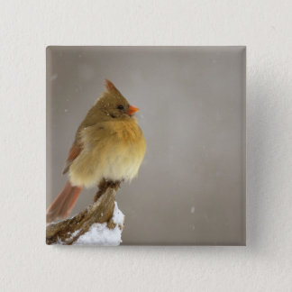 Female northern Cardinal on snow covered 15 Cm Square Badge