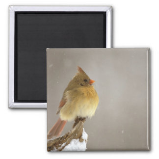 Female northern Cardinal on snow covered Magnet