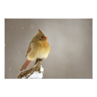 Female northern Cardinal on snow covered Photo Print