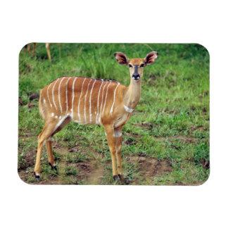 Female Nyala, Hluhluwe-Umfolozi Game Reserve Rectangular Photo Magnet