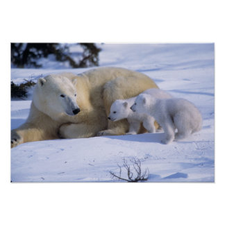 Female Polar Bear Lying Down with 2 coyscubs Poster