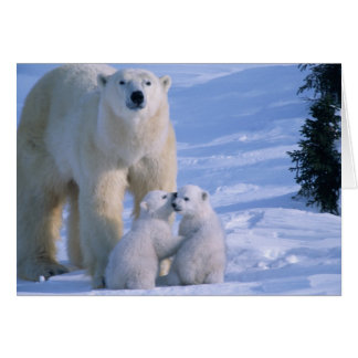 Female Polar Bear Standing with 2 Cubs at her Card