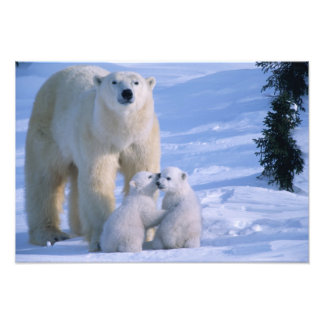 Female Polar Bear Standing with 2 Cubs at her Photo Print